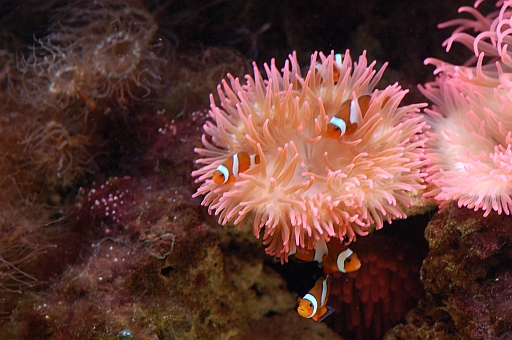 A-Nemo-nenfische